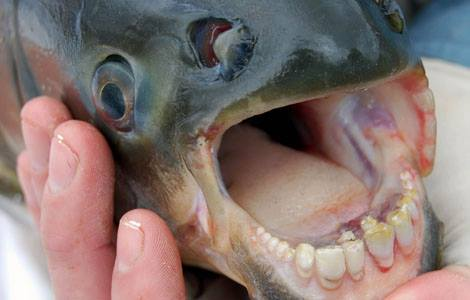 pacu human teeth fish amazon